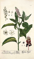 Phytolacca americana L. [as Phytolacca decandra L.]  (1173)