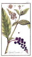 Phytolacca americana L. [as Phytolacca decandra L.]  (1796)