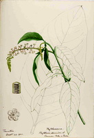 Phytolacca americana L. [as Phytolacca decandra L.]  (1888 -1910)