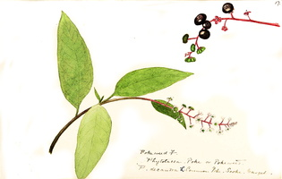 Phytolacca americana L. [as Phytolacca decandra L.]  (1888 -1910) - 02