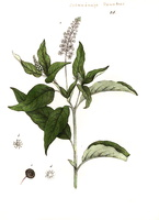 Phytolacca americana L. [as Phytolacca decandra L.]  (1839)