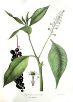 Phytolacca americana L. [as Phytolacca decandra L.]  - (1843)
