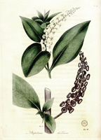 Phytolacca americana L. [as Phytolacca decandra L.]  (1817)
