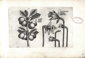 Prunus cerasus L. [as Cerasia] (1614)