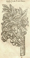 Prunus cerasus L. [as Cerasia]  (1581)