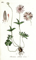 Anemone hortensis L. [as Anemone stellata Lam.] (1826-1827)