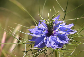 Nigella damascena L. - 03