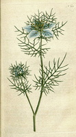 Nigella damascena L. (1787)