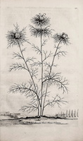 Nigella damascena L. [as Melanthium flore pleno folioso]  (1696)