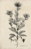 Nigella damascena L. (1826)