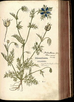 Nigella damascena L. (1543)