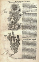 Nigella damascena L. [as Melanthium Damescenum pleno flore] (1601)