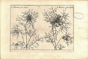 Nigella damascena L. [as Melanthium flore pleno]  (1614)
