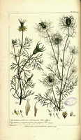 Nigella damascena L. (1755-1760)