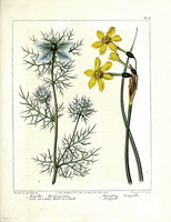Nigella damascena L. (1812)