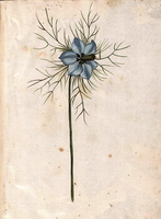 Nigella damascena L