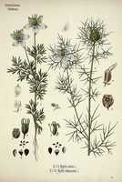 Nigella damascena L. (1890)
