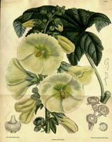 Alcea rosea L. [as Althaea ficifolia (L.) Cav.] (1892)