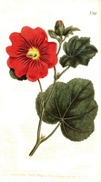 Alcea rosea L. [as Althaea flexuosa Sims]