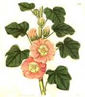 Alcea rosea L. [as Althaea caribaea Sims] (1817)