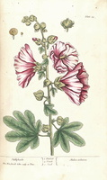 Blackwell, E., A curious herbal, vol. 1: t. 54 (1737) [E. Blackwell] (1737)