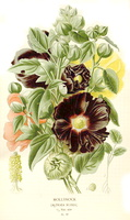Alcea rosea L. [as Althaea rosea (L.) Cav.] (1896-1897)