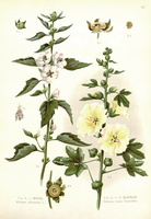 Alcea rosea L. [as Althaea rosea (L.) Cav.]  (1905)