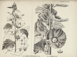 Alcea rosea L. [as Althaea rosea (L.) Cav.] (1918)