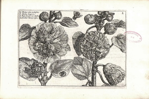 Alcea rosea L. [as Malva rosea multiplex]  (1614)