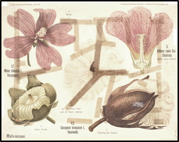 Alcea rosea L. [as Althaea rosea (L.) Cav.]  (1901)