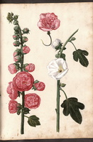 Alcea rosea L. [as Althaea rosea (L.) Cav.]  - 03