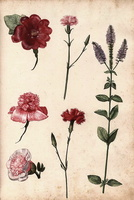 Alcea rosea L. [as Althaea rosea (L.) Cav.]  - 04