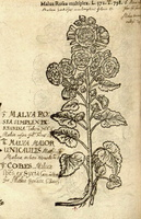 Alcea rosea L. [as Malva rosea multiplex]  (1581)
