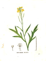 Diplotaxis tenuifolia (L.) DC. [as Sisymbrium acre Lam.]  (1832)