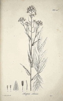 Hesperis matronalis L. [as Hesperis sibirica L.]  (1833)