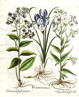Hesperis matronalis L. [as Viola matrionalis flore albo]  (1620)
