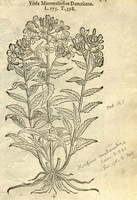 Hesperis matronalis L. [as Viola matronalis sive damascena]  (1581)