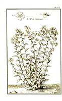 Hesperis matronalis L. [as Viola matrionalis] (1767)