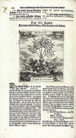 Raphanus raphanistrum L. [as Hederich]  (1719)