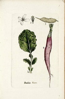 Raphanus raphanistrum L. var. oblongus [as Raphanus sativus L. var. oblongus] (1776 - 1781)