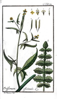 Sisymbrium officinale (L.) Scop. [as Erysimum officinale L.]  (1796) - 02