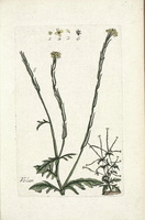 Sisymbrium officinale (L.) Scop. [as Erysimum officinale L.]  (1776 -1781)