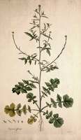 Sisymbrium officinale (L.) Scop. [as Erysimum officinale L.]  (1784 - 1788)
