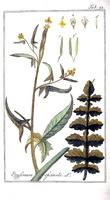 Sisymbrium officinale (L.) Scop. [as Erysimum officinale L.]  (1796)