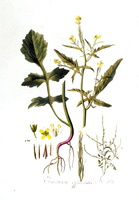 Sisymbrium officinale (L.) Scop. [as Erysimum officinale L.] (1807)