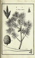 Pinus pinea L. [as Pinus sativa Garsault]  (1767)