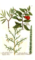 Arbutus unedo L. [as Arbutus]  (1737)