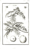 )Sorbus domestica L. [as Sorbus]  (1767)