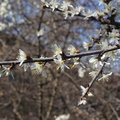 Prunus spinosa L. - 14||<img src=./_datas/b/n/k/bnkh31s5zz/i/uploads/b/n/k/bnkh31s5zz//2018/11/14/20181114173620-4f8b9bfb-th.jpg>