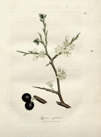 Prunus spinosa L. (1832)